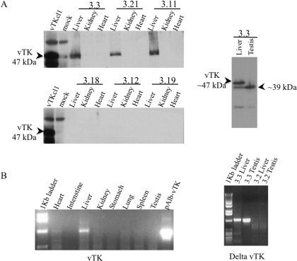Tissue distribution of vTK in transgenic mice.A. Expression of vTK protein (47 kDa) in various tissues from experimental FVB/N mice (listed in Table 1) were examined by immunoblot analysis (as shown for vTK+ mice 3.3, 3.21 and 3.11 and vTK− mice 3.18, 3.12, and 3.12, left panel). A smaller vTK immunoreactive protein (∼39 kDa) was identified in the testis of vTK+ mice. (right panel). B. Expression of vTK mRNA was evaluated in several tissues obtained from vTK+ mice (as shown for 3.3, left). Expression of delta-vTK mRNA was evaluated in the liver and testis of vTK+ (as shown fo 3.3, right) and vTK− (as shown fo 3.2, right) mice.