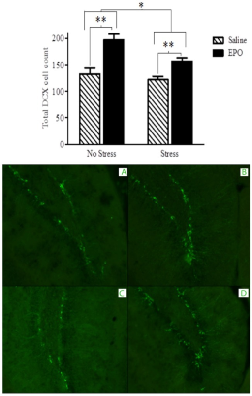DCX immunoflourescent labelling of the dentate gyrus region of the hippocampus at 20X magnification.EPO treatment (black bars) increased DCX+ neuron counts relative to saline treatment (hatched bars). The bottom photomicrographs depict representative images from the treatment groups: A. Saline, B. EPO, C. Saline + Stress and D. EPO + Stress. Data are expressed as mean ± SEM (n = 8/group) *p < 0.01, **p < 0.001.