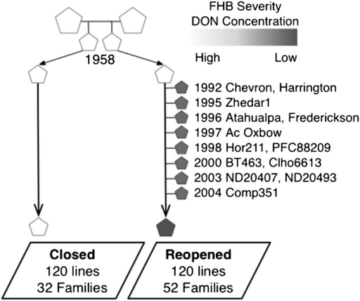 Breeding history of the Closed and Reopened populations. Filled shapes designate individuals carrying Fusarium head blight (FHB) resistance and/or reduced deoxynivalenol (DON) accumulation. The Reopened population acquired reduced FHB severity and DON concentration through the introgression from 13 donor lines between 1992 and 2004.