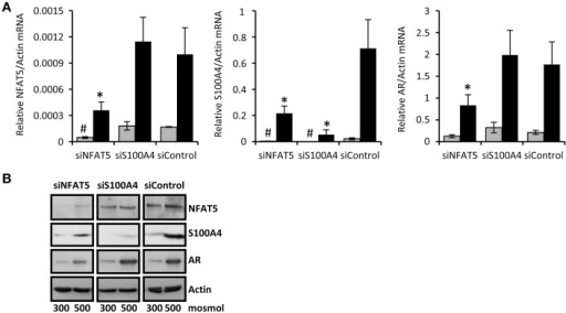 NFAT5-knockdown attenuates S100A4 expression in CaKi-1 cells. CaKi-1 cells were transfected with siRNA constructs for NFAT5 (siNFAT5), S100A4 (siS100A4) or with non-targeting siRNA (siControl) as indicated. Cells were kept in isoosmotic medium (; 300 mosm/kg H2O) or were exposed to hyperosmotic medium (■; 500 mosm/kg H2O). Medium osmolality was elevated by addition of NaCl. (A) Cells were incubated for 6 h (for NFAT5 determination) or 16 h (for S100A4 and AR determination). Thereafter, RNA was extracted and the abundance of NFAT5, S100A4, AR, and β-actin mRNA transcripts determined by qRT-PCR as described in Methods. Relative mRNA abundance of NFAT5, S100A4, or AR was normalized to that of β-actin to correct for differences in RNA input. Data are means ± s.e.m. for n = 4 per point; #P < 0.05 vs. siControl isoosmotic medium; *P < 0.05 vs. siControl hyperosmotic medium. (B) Cells were incubated for 24 h and subsequently processed for immunoblotting to determine expression of NFAT5, S100A4, and AR as described in Methods. To demonstrate comparable protein loading, the blots were also probed for β-actin. Representative blot from 4 independent experiments is shown.