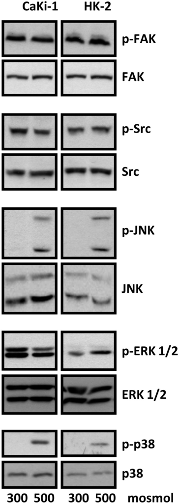 Activation of signaling molecules in CaKi-1 and HK-2 cells. CaKi-1 cells or HK-2 cells were incubated in isoosmotic medium (300 mosm/kg H2O) or hyperosmotic medium (500 mosm/kg H2O). Medium osmolality was elevated by addition of NaCl. Cells were incubated for 1 h and subsequently lysed and abundance and phosphorylation status of FAK, Src, JNK, ERK1/2, and p38 determined by immunoblotting as described in Methods. Representative blots from 4 independent experiments are shown.