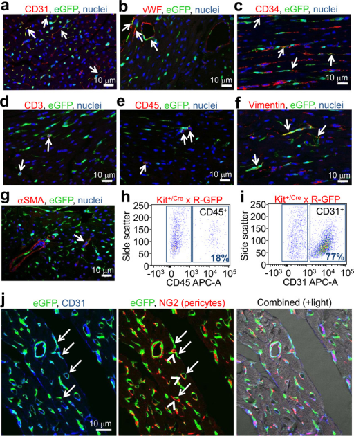 Analysis of cardiac cells from Kit+/Cre × R-GFP mice. a, b, c, d, e, f, g, Immunofluorescent images of heart histological sections from Kit+/Cre × R-GFP mice at 4 weeks of age stained with eGFP antibody (green), nuclei in blue and either CD31, von Willebrand factor (vWF), CD34, CD3, CD45, vimentin or smooth muscle α-actin (αSMA) in red. Arrows show cells with overlap in staining. h, i, FACS plot showing lineage markers of heart isolated c-kit derived eGFP+ cells for CD45 (h) and CD31 (i) (representative of n=6 for CD45 at 4 weeks of age, and n=3 for CD31 at 12 weeks of age). j, Immunofluorescent image from heart histological section of a Kit+/Cre × R-GFP mouse at 4 weeks for eGFP fluorescence (green), CD31 antibody staining (blue) and NG2 antibody staining (red). Right panel shows composite with transmitted light.