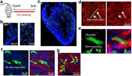 Analysis of c-kit lineage labeling in the heart at P0 (birth)a, Diagram of the timing whereby newborn Kit+/Cre × R-GFP mice were analyzed for all subsequent experiments in this figure. b, Histological sections for eGFP fluorescence (green) from the ileum and lung at P0 showing the characteristic c-kit labeling pattern as observed at other time points or in other studies when antibodies were employed. Blue shows nuclei c, Histological section for eGFP fluorescence (green) from the heart at P0. Blue shows nuclei and magnification was 40X. d, Immunohistochemical tissue section from the P0 heart of Kit+/Cre × R-GFP mice stained with sarcomeric α-actin (red) to show all underlying cardiomyocytes (right panel) or with eGFP expression in green (left panel) as being c-kit derived. The green cells noted by the arrows are non-myocytes that do not express sarcomeric α-actin. e, eGFP expression alone (left) or eGFP with co-staining for cardiomyocytes in red (sarcomeric α-actin) from heart sections at P0 of Kit+/Cre × R-GFP mice. Blue staining depicts nuclei. The cardiomyocyte that is shown has clear striations in the eGFP staining pattern, while the 2 non-myocytes do not show striated eGFP and also lack sarcomeric α-actin staining. f, eGFP expression alone in green (left) with nuclei in blue or eGFP with sarcomeric α-actin co-staining (red) from heart sections at P0 of Kit+/Cre × R-GFP mice. All eGFP+ cells shown lack striations and are non-myocytes although the 2 cells in the center sit directly on top of cardiomyocytes and could be easily mis-interpreted. Great care is needed in scoring myocytes in the P0 heart because they are small and often the same size as eGFP+ non-myocytes. g, eGFP expression (green) with nuclei in blue and cardiomyocytes identified in red with sarcomeric α-actin antibody from heart histological sections at P0 of Kit+/Cre × R-GFP mice. Here the data show c-kit lineage derived cardiomyocytes that appear in a loose cluster (arrows), presumably from a clonal expansion event earlier in development.