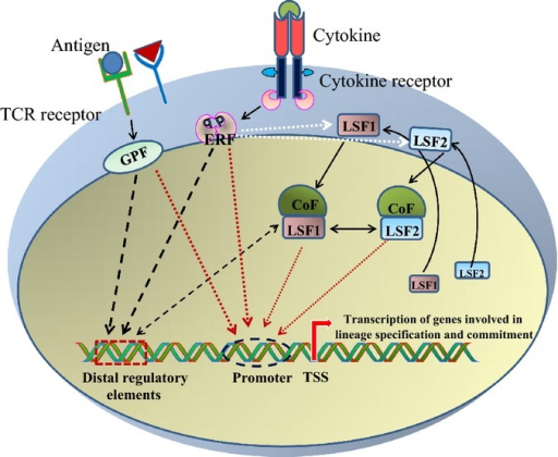 Role of transcription factors in inducing the transcription of lineage-specific genes in T cells.Antigens and cytokines are extracellular signals received by T cells through T-cell receptors (TCRs)and cytokine receptors. Ligation of antigen to TCRs activate general acting pioneer transcriptionfactors (GPFs), such as NF-κB, NFAT, and AP-1 and cytokines binding to cognate cytokinereceptors lead to activation of environment response factors (ERFs), such as STATs. These pioneertranscription factors independently or synergistically regulate global chromatin state and theexpression of a lineage-specifying factor (LSF). LSFs and other co-factors further bind to thepre-existing chromatin landscape created by pioneer factors to regulate transcription of genesinvolved in lineage-specific gene expression program.