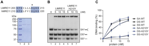 Purification and DNA binding of the L. infantum MRE11 protein.(A) Alignment of L. infantum and human MRE11 proteins showing the conserved catalytic residue (H) that has been mutated in LiMRE11 (H210Y) to generate the LiMRE11H210Y mutated version and purification of LiMRE11WT and LiMRE11H210Y followed by SDS–PAGE separation. Purified proteins (150 ng) were loaded on an 8% SDS-PAGE, run then stained with Coomassie blue (GE Healthcare). Lane 1: molecular weight markers (Bio-Rad Laboratories); lane 2: purified LiMRE11WT; lane 3: purified LiMRE11H210Y. (B) LiMRE11WT and mutant H210Y can bind various DNA structures. Competition electrophoretic mobility shift assays were performed with LiMRE11WT (lanes 2–4) and LiMRE11H210Y (lanes 5–7) and 25 nM of ssDNA (SS), dsDNA (DS) and splayed arm (SA) substrates with increasing concentration of the proteins (0, 5, 10, 15 nM). (C) Quantification of the DNA binding signals of panel B.