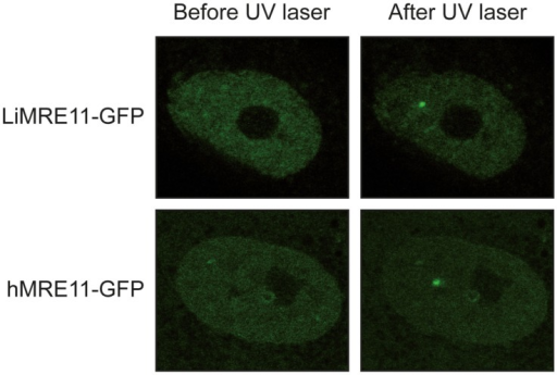 Fluorescence recovery after photobleaching analysis after DNA damage induction in UV-irradiated cells.LiMRE11-GFP is recruited to DNA damage sites in human MRE11-deficient cells (ATLD), as the human MRE11-GFP.