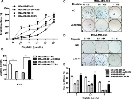 Effects of cisplatin on proliferation and colony formation in triple-negative breast cancer (TNBC) cells(A) CXCR4 knockdown and CXCR4 overexpression cells were treated with cisplatin for 48 h. The effect of CXCR4 on cisplatin sensitivity was measured by MTT assay. (B) IC50 values for cisplatin in MDA-MB-231 and MDA-MB-468 cells for 48 h were calculated by regression analysis using SPSS software based on the results of the MTT assays. (C) Colony formation of MDA-MB-231-NC and MDA-MB-231-shCXCR4 cells following treatment with cisplatin (0, 0.1 and 1 μM) for 48 h. (D) Colony formation of MDA-MB-468-NC and MDA-MB-468-CXCR4 cells following treatment with cisplatin (0, 0.1 and 1 μM) for 48 h. (E) The percentage of colony formation of MDA-MB-231 and MDA-MB-468 cells treatment with cisplatin. Data are represented as the mean ± SD of triplicate determinations. Each assay was performed in triplicate and repeated at least three times. *p < 0.05, **p < 0.01, as compared with untreated cells.