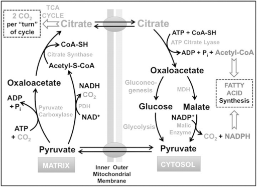 Diagram for citrate metabolism and bicarbonate formation. Shown are key enzymatic reactions catalyzing the formation and degradation of citrate and oxaloacetate, the latter an important metabolite in the TCA (Krebs) cycle, gluconeogenesis as well as the formation of reducing equivalents required for fatty acid biosynthesis. Note that each turn of the TCA cycle generates 2 moles of bicarbonate. The relative flux of oxaloacetate through gluconeogenesis versus the steps catalyzed by MDH and malic enzymes will depend on other metabolic circumstances beyond the scope of this discussion. MDH, malate dehydrogenase; PDH, pyruvate dehydrogenase; acetyl-S-CoA, acetyl-S-coenzyme A.