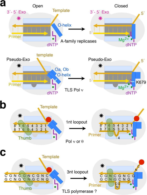 Diagram of DNA synthesis by Pol ν and a primer-loopout model for trinucleotide-repeat (TNR) expansion. (a) The high-fidelity Pol I and TLS Pol ν differ in the open states, while identical in the closed states. When the O helix in Pol ν is open for dNTP binding, helices Oa and Ob exclude the template base from the active site. The unique K679 in Pol ν further promotes dTTP misincorporation. The 3′–5′ exonuclease (Exo, pink star), which proofreads and improves the accuracy of Pol I, is inactivated in Pol ν (pseudo-Exo, black star). (b) A primer–loopout model. When a downstream template base is unusable (indicated as a red dot), Pol ν can loop out 1–2 nucleotides of the primer strand at the −3 position to re-use the normal template base(s) for lesion-bypass DNA synthesis. The mobile thumb of Pol ν (shown as semi-transparent green) may facilitate DNA translocation and misalignment. (c) Repetitive DNA sequence such as trinucleotide repeats (CNG)n would ease loopout of repeat units, as diagramed here, and result in repeat expansion.