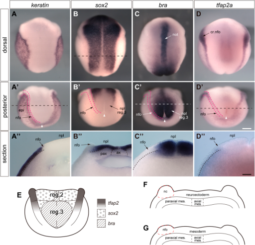 "Expression of molecular markers for epidermis, mesoderm, and neural crest.In situ hybridization of axolotl neurulae (stage 15) with keratin (A, A'), sox2 (B, B' and B""), brachyury (C, C' and C"") and tfap2a (D, D' and D"") riboprobes. A–D, dorsal views of whole embryos. A'–D', posterior views of whole embryos. A""–D"", posterior aspects of anterior halves of bisected embryos. Sectioning planes are indicated by dashed lines and run through the middle of region 3 fold/plate (A', C' and D') or through region 2 (B). Red double-dashed lines indicate neural folds; prospective epidermis is lateral and neural plate medial to the folds. E, fate of plate/fold region3 based on in situ hybridization with brachyury (bra), sox2 and tfap2a riboprobes (neurula stage 15). Brachyury: positive in the centre of plate region 3; tfap2a: positive.in cranial and trunk neural folds until the anterior part of fold region 3; sox2: positive in cranial and region 2 plate. F and G, transverse sections through neural fold/plate (stage 15) in region 1–2 (F) and middle of region3 (G). Axial differences of neural plate and neural crest potential become evident (neuroectoderm vs. mesoderm and neural crest vs. neural fold, respectively). These data and the indication of the distribution of the tfap2-, sox2- and bra-zones in E are based on in situ hybridization (see above). nc in F, prospective neural crest; nfo in G, tfap2a-negative neural fold tissue, probably mesoderm. Number of experiments: about 20 for each riboprobe. White arrowheads in A'-D' point to blastopore. Abbreviations: not, notochord; nfo, neural fold; cr. nfo, cranial neurl fold; npl, neural plate; ax, axial mesoderm; pax, paraxial mesoderm. Scale bars, 500 μm (D') and 200 μm (D"")."