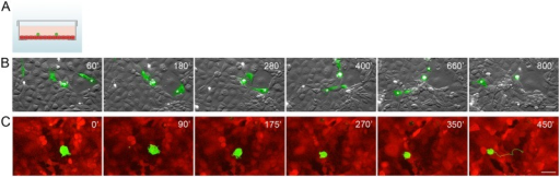Transformed IAR-6-1 epithelial cells migrate over the monolayer of normal IAR-2 epithelial cells.EGFP-expressing IAR-6-1 cells were seeded onto the confluent monolayer of mKate2-expressing IAR-2 cells. (A) A scheme of experimental design used in the present study: a glass bottom culture dish with a confluent IAR-2 monolayer (red) and transformed IAR cells (green) seeded sparsely onto the monolayer. (B) Selected frames from S2 Video with combined DIC and green channels. Asterisks indicate migration of an elongated fibroblast-like cell. Scale bar 40 μm. (C) Selected frames from S3 Video with combined red and green channels of the top confocal slices out of time lapse Z-stacks. A corresponding 450-min track (1 point/15 min) of the migrating IAR-6-1 cell is shown on Frame 6. Scale bar 20 μm.