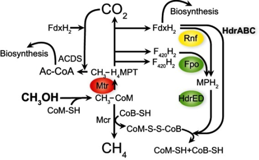 Methylotrophic methanogenesis pathway in M. acetivorans. The green ovals indicate energy-conserving steps. The red oval indicates an energy-consuming step. Yellow indicates an [Na+]-dependent energy conservation step. Ac-CoA, acetyl-coenzyme A; Fpo, proton-pumping F420-methanophenazine oxidoreductase; Mtr, methyl-coenzyme M methyltransferase.