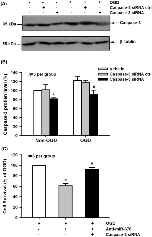 Caspase-3 siRNAs blocked anti-miR-378-mediated neuronal injury in N2A cells. (A,B) Caspase-3 siRNA, but not its negative control effectively decreased caspase-3 protein expression in normoxia and OGD-treated groups, * p < 0.05 vs. non-OGD vehicle, # p < 0.05 vs. OGD vehicle, n = 3 per group; (C) MTT results showed that caspase-3 siRNAs had the ability to block anti-miR-378-mediated neuronal injury induced by OGD treatment, * p < 0.05 vs. OGD, # p < 0.05 vs. caspase-3 siRNA ctrl, n = 6 per group.