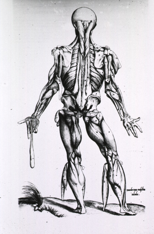 <p>Full length rear view, standing, of human figure with musculature defined.</p>