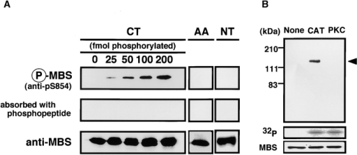 Specificity of phosphorylation site-specific antibody (anti-pS854 Ab). (A) Recognition of MBS phosphorylated at Ser-854. A total of 200 fmol of GST-MBS-CT (CT: 758–1032 aa) containing the indicated amounts of GST-MBS-CT phosphorylated by GST-CAT and 200 fmol of GST-MBS-CTS854A, T855A (AA) and GST-MBS-NT (NT: 1–763 aa) phosphorylated by GST-CAT were resolved by SDS-PAGE followed by immunoblotting with anti-pS854 Ab (upper panels), anti-pS854 Ab absorbed with a 100-fold amount of antigen phosphopeptide (middle panels) or anti-pnMBS or pcMBS Ab (lower panels). (B) Specific recognition of MBS phosphorylated by Rho-kinase. A total of 4 pmol of full-length MBS (1–1032 aa) phosphorylated by GST-CAT (CAT) or PKC was resolved by SDS-PAGE followed by immunoblotting with anti-pS854 Ab (upper panel) or anti-pnMBS Ab (lower panel) or by autoradiography (middle panel). The arrowhead indicates the position of MBS phosphorylated at Ser-854. These results are representative of three independent experiments.