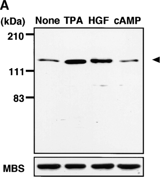 Rho- and Rho-kinase–dependent phosphorylation of MBS at Ser-854 in MDCK cells. (A) TPA- and HGF-induced phosphorylation of MBS at Ser-854. Serum-deprived MDCK cells were stimulated with 200 nM TPA, 50 pM HGF for 15 min or 5 mM dibutyryl cAMP (cAMP) for 30 min, and the whole-cell lysates were resolved by SDS-PAGE followed by immunoblotting with anti-pS854 Ab (upper panel) and anti-pnMBS Ab (lower panel). Arrowhead indicates the position of MBS phosphorylated at Ser-854. A minor band with apparent relative molecular mass of 90 kD may be a degradation product of MBS. (B) Time course of the phosphorylation of MBS at Ser-854 in the TPA- and HGF-stimulated MDCK cells. Serum-deprived MDCK cells were stimulated with 200 nM TPA (a) or 50 pM HGF (b) for 3, 5, 15, 30, 60, or 120 min, and the whole-cell lysates were resolved by SDS-PAGE followed by immunoblotting with anti-pS854 Ab (upper panels) and anti-pnMBS Ab (lower panels). The amount of MBS phosphorylated at Ser-854 was quantitatively determined by scanning densitometry. The densities of the immunoreactive bands with anti-pS854 Ab were normalized by that of total MBS. The mean density of the immunoreactive bands with anti-pS854 Ab at 0 min was set at 100 arbitrary units. The values shown are means ± SE of triplicates. (C) Inhibition of the TPA- and HGF-induced MBS phosphorylation by C3 or Rho-kinase inhibitors. Nonpretreated (2), 50 or 100 μg/ml C3-pretreated (3 and 4), 1 or 10 μM of HA1077-pretreated (5 and 6), or 1 or 10 μM of Y-32885–pretreated (7 and 8) serum-deprived MDCK cells were stimulated with (2–8) or without (1) 200 nM TPA (a) or 50 pM HGF (b) for 15 min and the lysates were resolved by SDS-PAGE followed by immunoblotting with anti-pS854 Ab (upper panels) and anti-pnMBS Ab (lower panels). The densities of the immunoreactive bands with anti-pS854 Ab were normalized by that of total MBS. The mean density of the immunoreactive bands with anti-pS854 Ab in the nonstimulated cells was set at 100 arbitrary units. The values shown are means ± SE of triplicates.