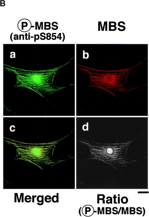 Colocalization of phosphorylated MBS, F-actin and phosphorylated MLC in REF52 fibroblasts. (A) Localization of phosphorylated MBS. REF52 cells were doubly stained with TRITC-phalloidin (b and d) and anti-pS854 Ab (a) or anti-pp2b Ab (c). (B) Distribution of phosphorylated and total MBS in REF52 cells. REF52 cells were doubly stained with anti-pS854 Ab (a) and anti-mMBS Ab (b). The merged (c) and ratio (phosphorylated MBS/MBS; d) images are shown. (C) Inhibition of phosphorylation of MBS by C3 or dominant negative Rho-kinase. REF52 cells were microinjected with MBP (5.0 mg/ml) (a–d), C3 (0.1 mg/ml) (e–h), C3 plus GTPγS·RhoAI41 (0.4 mg/ml) (i–l), or MBP-RB/PH(TT) (5.0 mg/ml) (m–p). REF52 cells were stained with TRITC-phalloidin (a, e, i, and m), anti-pS854 Ab (b, f, j, and n), anti-pnMBS Ab (c, g, k, and o), and anti-pp2b Ab (d, h, l, and p). The arrowheads indicate the injected cells. Bars, 10 μm.