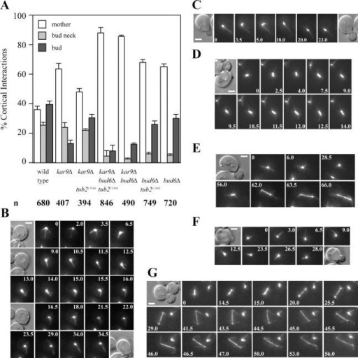 Effect of decreased MT turnover on orientation of MT–cortex interactions in kar9Δ cells. (A) Astral MT–cortex interactions in the indicated strains expressing GFP-Tub1 (number of cells recorded: 81 wild type, 77 kar9Δ, 64 kar9Δ tub2C354S, 52 kar9Δ tub2C354S bud6Δ, 65 kar9Δ bud6Δ, 51 bud6Δ tub2C354S, and 45 bud6Δ) were scored by cell compartment (mother, bud neck, or bud) from bud emergence to preanaphase spindle assembly. n = total number of interactions. Error bars indicate 95% confidence limits. (B–E) Selected frames from representative time-lapse series showing orientation of MT–cortex interactions in kar9Δ tub2C354S GFP:TUB1 cells. (B) Early orientation of astral MT–cortex interactions toward the prebud site occurred after mitotic exit (9.0 min). Orientation was maintained throughout bud emergence (16.0–34.5 min). DIC images corresponding to 0, 9.0, 16.5, and 34.5 min are shown. (C) A small budded cell showing an astral MT oriented toward the bud (0 min) maintained its orientation throughout spindle assembly and alignment (18.0–23.0 min) of the preanaphase spindle along the mother-bud axis. DIC images correspond to the first and last frame of the series. (D) Selected frames from a time-lapse series showing preanaphase spindle orientation. A cell completed spindle assembly (0–7.5 min), maintaining MT–bud cortex interactions during spindle alignment. (E) Selected frames from a time-lapse series showing correct SPB orientation before spindle assembly (0–6 min). MT–cortex interactions within the bud continued throughout spindle assembly and orientation (56 min). The spindle was correctly aligned as the cell proceeded through anaphase (62–66 min). (F and G) Time-lapse series showing failure to orient MTs toward the emerging bud in a kar9Δ bud6Δ tub2C354S GFP:TUB1 cell. (F) Astral MTs interacted with the cell cortex away from the bud. DIC images correspond to the first and last frame. (G) Defective preanaphase spindle orientation (0–15.0 min) and misaligned spindle elongation (20.0–29.0 min) followed by spindle orientation through dynein-dependent interactions (44.5–53.0 min) in mid-anaphase. Numbers indicate time elapsed in minutes. Bars, 2 μm.