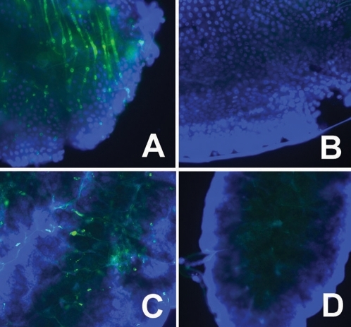 IFA detection of AgDNV infection of dissected adult tissues.Mosquitoes were infected as first-instar larvae with AgDNV purified from Sua5B cells. A, B: midgut; C, D: ovary. A, C: infected with AgDNV; B, D: control. Blue: cell nuclei stained with DAPI, green: densovirus.