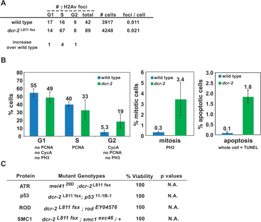 dcr-2 mutants display increased spontaneous DNA damage in heterochromatin.A) Analysis of the ratios of γH2Av foci to total cell numbers at different cell cycle stages are shown for wild type and dcr-2. γH2Av foci in dcr-2 cells only increased during S phase (p<0.05). P values were calculated by Chi-square test. B) The histograms show cell cycle stage analysis of wild type and dcr-2 cells. The percent of G1 cells in the two groups do not differ significantly (p>0.05). The percentage of S phase cells is not significantly lower in dcr-2 compared to wild type (p>0.05), but the percent of wild-type cells in G2 is significantly lower than in dcr-2 (p<0.05). The mitotic index in dcr-2 cells is 11-fold over wild type (p<0.001), and the percent of apoptotic cells (whole nuclei contain TUNEL signals, instead of foci) in dcr-2 is 18-fold over wild type (p<0.001). P values were calculated by Student's t test, and n>1000 cells for each genotype. C) The chart lists the viability of double mutants of dcr-2 with mutations in the DNA damage checkpoint and mitotic checkpoint pathways. Viability was calculated relative to single homozygous checkpoint mutants, which are less viable than dcr-2 single mutants. Progeny counts are in Table S1. P values were calculated by the Chi-square test.