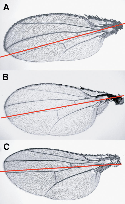 The Insulin Signaling Activity Controls Organ Size in a Compartment-Specific MannerMosaic Drosophila wings with compartment-specific manipulations of dAkt function display striking size defects but normal patterning.(A) Selective reduction of dAkt function in the posterior compartment by means of FLP-mediated mitotic recombination in posterior cells (using engrailed–Gal4 to drive the expression of UAS–Flp) results in a small P compartment largely consisting of dAkt3 mutant cells. The smaller compartment size is due to fewer and smaller cells.(B) Wild-type wing for comparison.(C) Expression of dAkt in posterior cells (engrailed–Gal4 UAS–dAkt) of wings with reduced dAkt function (dAkt3) restores the size of the P compartment, whereas the A compartment remains small. The red lines mark the anterior–posterior compartment boundary. Note that similar results in the wing disc have been obtained by Teleman and Cohen (2000).
