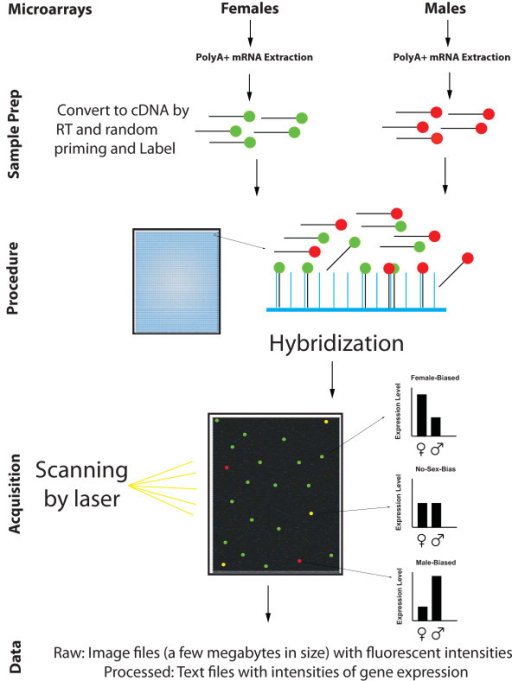Data production workflow for microarrays. Microarrays require labeling of target material, hybridization to arrays, washing, and scanning to obtain measures of gene expression. RNA converted to cDNA from the sample will hybridize to the corresponding oligonucleotide targets, so that more highly expressed genes will be reflected in more abundant material hybridized and thus greater fluorescence intensity. In modern arrays, multiple probes are designed for a single gene in order to obtain fluorescence intensities that can be used as an index of gene expression.