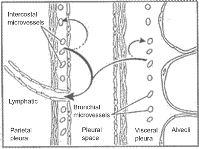 Fluid turnover and lymphatic drainage from the pleural