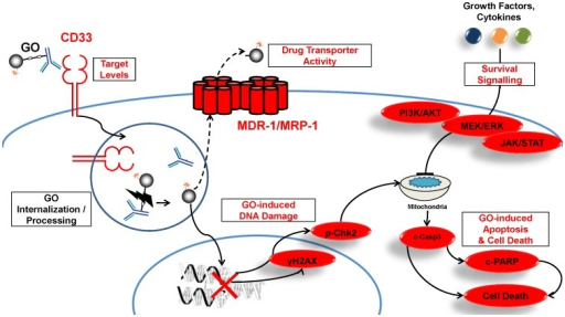 Functional characterization of GO-induced cytotoxicity in CD33+ cells.Scheme depicts the presumed mechanism of action of GO in CD33+ AML cells [5], [11]. Experimentally measured components in our studies are shown in red: CD33 expression levels; drug efflux pump activity; γH2AX (extent of DNA damage); survival signaling pathways (PI3K/AKT, MEK/ERK, and JAK/STAT pathway); and cleaved PARP and cell membrane integrity (apoptosis/cell death).