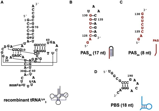 Secondary structures of RNA used in this study.A) the recombinant tRNALys3 expressed in E. coli, B) the hairpin encompassing PAS sequence, the double-stranded PAS (PASds) with the numbering of nucleotides in the HXB2 isolate, C) the single-stranded PAS sequence (PASss) and D) the PBS. A cartoon symbolizing the secondary structure of these RNAs is drawn next their names.