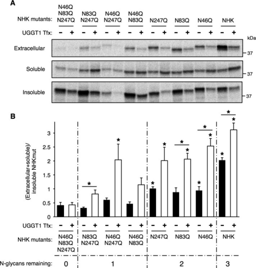 UGGT1-mediated solubility of NHK requires N-glycan on NHK. (A) Analysis of NHK N-glycosylation mutants in transfected Uggt1−/− MEFs. Uggt1−/− MEFs were transfected with expression vectors encoding NHK N-glycosylation–site mutants with all combinations of the three N-glycosylation sites mutated (Asp(N) to Gln(Q); 1, NHK-N46,83,247QQQ; 2, NHK-N83,247QQ; 3, NHK-N46,247QQ; 4, NHK-N46,83QQ; 5, NHK-N247Q; 6, NHK-N83Q; 7, NHK-N46Q), cotransfected with either empty vector or UGGT1 expression vector, and subjected to steady-state labeling analysis. (B) Quantification of three replicates of experiment in A. A significant portion of the increased solubility of NHK with increasing number of N-glycans added is due to UGGT1 reglucosylation activity. Student's t test was used for statistical testing (*p ≤ 0.05). Asterisks directly above bars indicate a significant difference in total soluble/insoluble ratio between that bar and nonglycosylated NHK (NHKQQQ), either with or without UGGT1 cotransfection. Error bars represent SEM.