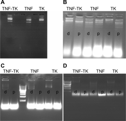 "(A–D) Agarose gel electrophoresis of dendriplexes. (A) Dendripexes of TNF-TK, TNF, and TK were verified with gel electrophoresis. (B–D) DNase sensitivity examination results in 30 minutes, 4 hours, and 6 hours, respectively. The ""d""s and ""p""s refer to dendriplexes and plasmid DNA, respectively. We can see there are still bands around the original place.Abbreviations: TNF-TK, tumor necrosis factor-thymidine kinase; TNF, tumor necrosis factor; TK, thymidine kinase."