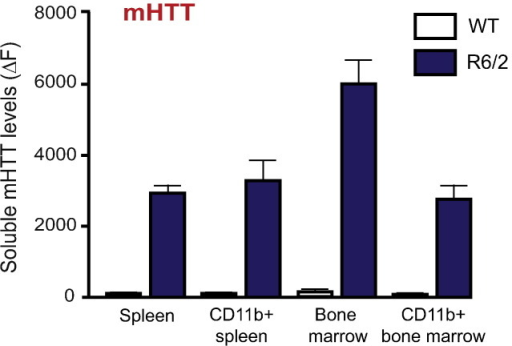 Mutant HTT levels in R6/2 spleen and bone marrow. Single cell suspensions obtained from bone marrow, spleen as well as magnetically sorted spleen and bone marrow CD11b+ cells from 12-week old R6/2 and wild-type mice (n = 8), were lysed and used to assess mHTT levels. TR-FRET measures demonstrated that mHTT levels are similar in CD11b+ immune cells isolated from spleen and bone morrow. No mHTT was detected in control mice (n = 3). Data shown as percentage of the signal intensities over lysis buffer background signal after normalisation to total protein levels.