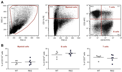 Splenic B cell, T cell and myeloid cell populations are unchanged in R6/2 mice. (A) Spleens from 12-week old R6/2 and wild-type mice were digested, homogenised and, after red blood cell lysis, stained with anti-CD11b PE, anti-CD3 APC and anti-CD19 FITC antibodies to look for myeloid, T and B cell subsets, respectively. The percentage of each cell population was determined via flow cytometry analysis using the gating as shown. (B) No differences were found comparing R6/2 and wild-type mice spleens using unpaired two-tailed Student's t-tests.