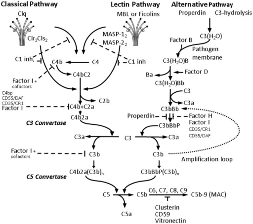 Activation of the complement cascade. Activation of all three C pathways generates homologous variants of C3-convertase cleaving C3 into C3a and C3b, whereas C3a stimulates mast cell degranulation and has chemotactic properties, and C3b acts as an opsonin and binds to the surface of pathogens. Increasing C3b deposition leads to the formation of C5-convertases cleaving C5 into the chemotactic C5a, and the fragment C5b, which together with C6, C7, C8, and the polymeric C9 forms the membrane attack complex (MAC) leading to the formation of transmembrane channel and osmotic lysis of the targeted pathogen. The classical pathway (CP) is initiated by binding of the C1-complex, consisting of a C1q molecule and a tetramer of 2 C1r and 2 C1s molecules, to antigen-bound IgM or IgG. The C1-complex cleaves C2 and C4 into C2a and C2b, and C4a and C4b, respectively. The C2a and C4b fragments form the CP C3-convertase. The lectin pathway activation is due to binding of mannose-binding lectin (MBL) and ficolins (Ficolin-1, -2, and -3) to carbohydrate pattern on microorganisms and dying cells, thus activating the MBL-associated serine proteases MASP-1 and MASP-2, which would in turn cleave C2 and C4. The alternative pathway (AP) is continuously activated through spontaneous C3-hydrolysis, resulting in formation of C3 convertases, which cleave C3 to a C3b-like C3, i.e., C3(H2O). Complement regulators are typically present on host cells and absent on pathogens, thus allowing C3(H2O) to bind factor B on the surface of the latter, and form additional C3 convertases after activation by factor D. In the presence of Factor D, C3(H2O)B is cleaved to Ba and Bb and forms C3(H2O)Bb, which in turn cleaves C3 to C3a and C3b forming C3bBb, which is stabilized by properdin. Properdin bound to microbial surfaces and apoptotic and/or necrotic cells can recruit C3 and also activate the AP (82). The final C3bBbP complex enzymatically cleaves more C3 and amplifies C activation. The C3-convertase of the AP can bind another C3b fragment and the resulting complex C3bBbP(C3b)n acts as a C5-convertase and triggers the formation of MAC and pathogen elimination.