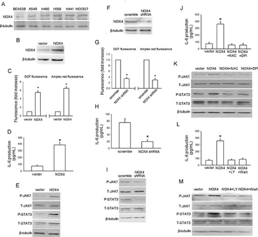 NOX4 stimulates IL-6 expression and JAK1/STAT3 activity in A549 cells via activation of PI3K/Akt pathway(A) Western blotting analysis of NOX4 expression in normal lung epithelial cells and cultured NSCLC cell lines. (B) A549 cells were stably transfected with control vector, NOX4 plasmid, respectively. Overexpression of NOX4 was confirmed by western blotting. (C-E) The effects of NOX4 overexpression on ROS production, IL-6 production and JAK1/STAT3 activity after 24 hours. Bars are mean ± SD from four independent experiments. *Significantly different from vector control, P < 0.05. (F) A549 cells were stably transfected with scramble shRNA, NOX4 shRNA, respectively. Knockdown of NOX4 was analyzed by western blotting. (G-I) Silencing NOX4 significantly inhibited ROS production, IL-6 production and JAK1/STAT3 activity after 24 hours. Bars are mean ± SD from five independent experiments. *Significantly different from vector control, P < 0.05. (J-K) Stably NOX4 overexpressing A549 cells were incubated with two common ROS scavengers including NAC (25 μM) and DPI (10 μM, an inhibitor of NADPH oxidase) for 24 hours, and then IL-6 levels and JAK1/STAT3 activity were determined. Bars are mean ± SD from four independent experiments. *Significantly different from vector control, P < 0.05. (L-M) Stably NOX4 overexpressing A549 cells were incubated with 30 μM of LY294002 or 10 μM of Wortmannin and control solvent for 24 hours, and then IL-6 levels and JAK1/STAT3 activity were determined. Bars are mean ± SD from four independent experiments. *Significantly different from vector control, P < 0.05.