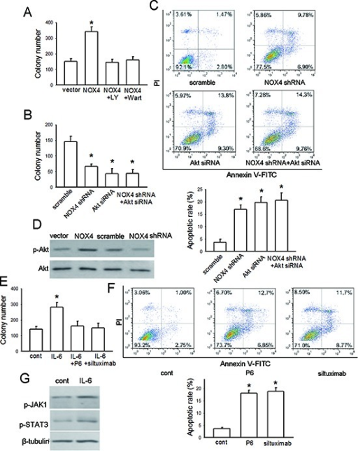 NOX4 and IL-6 promotes proliferation and survival of A549 cells(A) The effect of NOX4 overexpression on A549 cell proliferation, and effects of inhibition of PI3K/Akt pathway by LY294002 or Wortmannin on NOX4-promoted cell proliferation. The proliferation of cells was evaluated using colony formation assay. Bars are mean ± SD from three independent experiments. *Significantly different from vector control, P < 0.05. (B-C) A549 cells were transfected with NOX4 shRNA, Akt siRNA or NOX4 shRNA plus Akt siRNA, respectively. The proliferation of cells was evaluated using colony formation assay. Cell apoptosis was confirmed by flow cytometry analysis. Bars are mean ± SD from four to five independent experiments. *Significantly different from vector control, P < 0.05. (D) The effects of NOX4 overexpression or knockdown on Akt activity after 24 hours determined by western blotting. (E) The effect of IL-6 on cell proliferation, and the influence of IL-6 neutralizing antibody siltuximab or JAKs inhibitor P6 on IL-6-mediated proliferation in A549 cells. Bars are mean ± SD from four independent experiments. *Significantly different from control, P < 0.05. (F) The effects of siltuximab and P6 on cell apoptosis after 48-hour incubation. Bars are mean ± SD from five independent experiments. *Significantly different from control, P < 0.05. (G) The effects of IL-6 on JAK1/STAT3 activity determined by western blotting.
