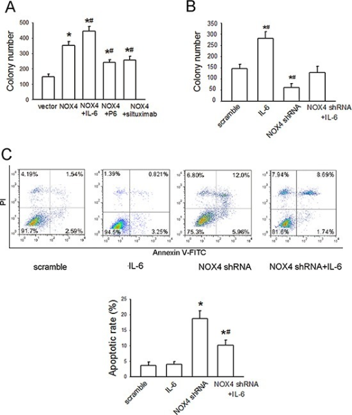 NOX4 interplays with IL-6 to regulate A549 cell proliferation and survival in vitro(A) The effects of IL-6, P6, or siltuximab on the proliferation of NOX4-transfected A549 cells. Bars are mean ± SD from four independent experiments. *Significantly different from control, P < 0.05. #Significantly different from NOX4 group, P < 0.05. (B) The effect of IL-6 on the proliferation of NOX4-depleted A549 cells. Bars are mean ± SD from four independent experiments. *Significantly different from control, P < 0.05. #Significantly different from NOX4 shRNA group, P < 0.05. (C) The effect of IL-6 on cell apoptosis of NOX4-depleted A549 cells. Bars are mean ± SD from four independent experiments. *Significantly different from control, P < 0.05. #Significantly different from NOX4 shRNA group, P < 0.05.