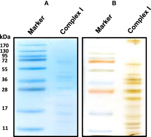 An alternative second dimensional SDS-PAGE approach whereby the complex I band derived from the gels shown in Figure 1 was placed on top of the second dimensional SDS gel. Both CBB staining (A) and silver staining (B) of complex I proteins bands were shown.