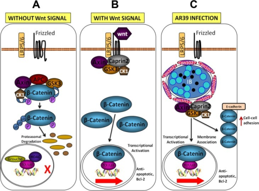 A working model for C. pneumoniae-mediated activation of the Wnt signaling transduction pathway.A. In the absence of Wnt signals, cytosolic β-catenin is degraded by a β-catenin destruction complex composed of Axin, adenomatosis polyposis coli (APC), glycogen synthase kinase 3β (GSK3β) and casein kinase 1α (CK1α). Both GSK3β and CK1α can phosphorylate β-catenin, which triggers ubiquitination and subsequent degradation of β-catenin by proteasomes. B. The Wnt signaling pathway is activated by binding of Wnt ligands, to Frizzled and LRP5/6 at the cell surface. LRP5/6 is activated by phosphorylation, which recruits the β-catenin destruction complex to the plasma membrane. The cytoplasmic activation/proliferation-associated protein 2 (Caprin2) facilitates LRP5/6 phosphorylation by GSK3β and enhances the interaction between Axin and the cytoplasmic tail of LRP5/6, which promotes the sequestration of the β-catenin destruction complex. The cytoplasmic pool of β-catenin rises and translocates into the nucleus, where it binds to the TCF/LEF family of transcription factors, displacing co-repressors Groucho and HDAC and acts as a co-activator to stimulate the transcription of anti-apoptotic, Bcl-2. C. In the C. pneumoniae AR39-infected cells, signalosomes are formed around the inclusion possibly through the chlamydial Inc protein Cpn1027 interacting with the β-catenin destruction complex, composed of Caprin2, Axin, GSK3β and CKIα resulting in the activation of the Wnt signaling transduction pathway in the absence of extracellular stimulation of Wnt. This leads to an increase in the cytoplasmic pool of β-catenin, nuclear β-catenin and membrane-associated β-catenin. The β-catenin-transactivated anti-apoptosis genes may promote the survival of the C. pneumoniae AR39-infected cells, hence the survival of AR39.
