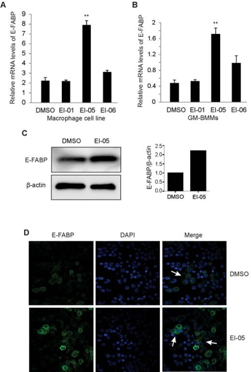 EI-05 enhances E-FABP expression in macrophagesMacrophages from a cell line (A) or bone-marrow (GM-BMMs) (B) were activated by LPS (10ng/ml) in the presence of absence of screened E-FABP partners (20 μM) for 24 h in vitro, respectively (**, p < 0.01 as compared to DMSO group). E-FABP expression was quantified by qPCR. Mice were i.p. injected with EI-05 (10 mg/kg) and vehicle control for 24 h, respectively. PBMCs were measured for E-FABP expression by western blot (C). Peritoneal macrophages were analyzed for E-FABP expression by confocal staining (D).