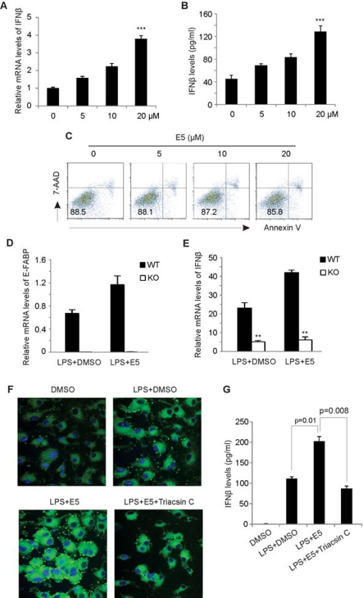 EI-05 treatment promotes IFNβ production in macrophagesGM-BMMs were activated by LPS (10 ng/ml) in the presence or absence of indicated concentrations of EI-05 for 24 h. IFNβ expression in macrophages was quantified by qPCR (A). IFNβ protein levels in cultural supernatants were measured by ELISA (B) (***, p < 0.001 as compared to the control group). (C) Flow cytometric analysis of 7-AAD and annexin V expression on GM-BMMs treated with indicated concentrations of EI-05 for 24 h. (D-E) E-FABP WT and KO macrophage cell lines were treated activated by LPS (10ng/ml) in the presence of EI-05 or DMSO control for 3h. Expression of E-FABP (D) and IFNβ (E) was analyzed by realtime PCR (**, p < 0.01 as compared to WT macrophages). (F) Confocal microscopy analysis of lipid droplet formation (BODIPY) in BM-GMMs with designated treatment with LPS (10 ng/ml), EI-05 (20 μM) or Triacsin C (5 μM). (G) Measurement of IFNβ levels in cultural supernatants of GM-BMMs with indicated treatment.