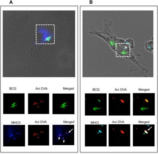 Avidin-fusion antigen co-localizes with MHC class II and class I molecules.Adherent BMA cells were infected with OVA decorated GFP-BCG for 4 h and then simulated with IFN-γ for 24 h. Cells were then fixed/permeabilized and stained with rabbit anti-avidin Ab, Alexa 594 anti-rabbit IgG and either Alexa 647 rat anti-mouse I-A (A) or Alexa 647 rat anti mouse H-2kb (B). Samples were mounted on microscope slides and analyzed by digital confocal microscopy. Green signal indicates the position of BCG-GFP and red signal reflects the localization of Avi-OVA. Blue signal indicates the position of MHC class II or class I molecules. Dotted line indicates area of interest. Arrowheads indicated Avi-OVA colocalization with MHC molecules. Images shown are representatives of two independent experiments.