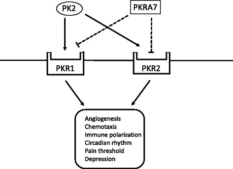 PKRA7 as an antagonist of PK2. PK2 binds to PKR1 and PKR2 receptors and regulates various physiological processes, including angiogenesis, chemotaxis, immune polarization, and circadian rhythm. PKRA7 also binds to PKR1 and PKR2 and competitively blocks the binding of PK2