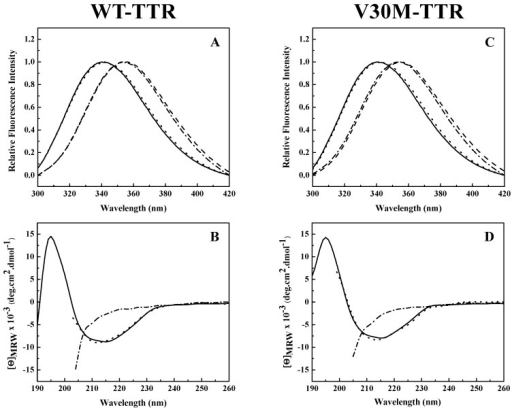 Conformational changes of WT-TTR and V30M-TTR upon unfolding and refolding. Fluorescence spectra (A,C) and CD spectra (B,D) of WT-TTR (A,B) and V30M-TTR (C,D) under native conditions (solid lines) (20 mM sodium phosphate buffer, 150 mM sodium chloride, pH 7.0), after incubation with 2.0 M GdmSCN for 12 h (dashed lines), followed by dialysis against 6.0 M urea for 10 h (dashed dotted lines) and after refolding upon extensive dialysis against sodium phosphate buffer (20 mM sodium phosphate buffer, 150 mM sodium chloride, pH 7.0) (dotted lines). Protein concentrations were 1.0 µM in the final refolding mixture. Fluorescence spectra were recorded with an excitation wavelength of 290 nm.