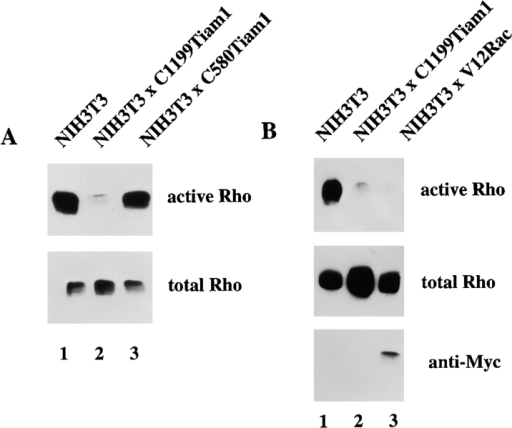 Rac activation downregulates Rho activity. (A) Cell lysates (from 3 × 106 cells) of control, C1199Tiam1- or C580Tiam1-expressing NIH3T3 fibroblasts were assayed for Rho activities. Lysates were incubated with GST-C21 and bound Rho was analyzed with antibodies against RhoA. (B) Cell lysates of control, C1199Tiam1- or V12Rac-expressing NIH3T3 fibroblasts were assayed for Rho activities, similar as in A. Aliquots of total lysates were probed with anti–Rho antibodies to control for total amounts of Rho protein or with anti–Myc (9E10) antibodies to control expression of V12Rac.