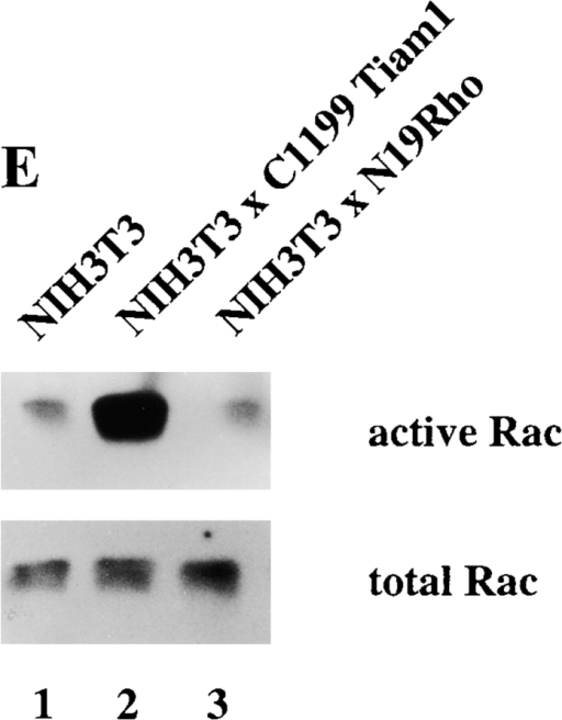 Interplay of Cdc42, Rac, and Rho activities. (A) Expression of Myc-tagged V14Rho and F28LCdc42 in established NIH3T3 cell lines. Western blot of cell lysates from control and V14Rho- and F28LCdc42-expressing cells using a mixture of anti–Rho and anti–Myc antibodies. (B) V14Rho does not affect endogenous Rac activity. Cell lysates (from 4 × 106 cells) of control and V14Rho-expressing NIH3T3 fibroblasts were assayed for Rac activity. Lysates were incubated with GST-PAK-CD and bound Rac was analyzed by Western blot with antibodies against Rac. Aliquots of total lysates were probed with antibodies against Rac to control for total amounts of Rac proteins. (C) Cdc42 inactivates Rho. Cell lysates (from 4 × 106 cells) of control, F28LCdc42- and V12Rac-expressing NIH3T3 fibroblasts were assayed for Rho activity. Lysates were incubated with GST-C21, and bound Rho was analyzed by Western blot with antibodies against Rho. Aliquots of total lysates were probed with antibodies against Rho to control for total amounts of Rho proteins. (D) F28LCdc42 is an activated Cdc42 mutant and activates Rac. Cell lysates (from 4 × 106 cells) of control and F28LCdc42 NIH3T3 fibroblasts were assayed for Cdc42 activity. After incubation with GST-PAK-CD, bound F28LCdc42 was analyzed by Western blot with antibodies recognizing the Myc-epitope tag and bound Rac with anti–Rac antibodies (Upstate Biotechnology Inc.). (E) Dominant negative N19Rho does not affect endogenous Rac activity. Cell lysates (from 4 × 106 cells) of control and N19Rho-expressing NIH3T3 fibroblasts were assayed for Rac activity and analyzed as in B.