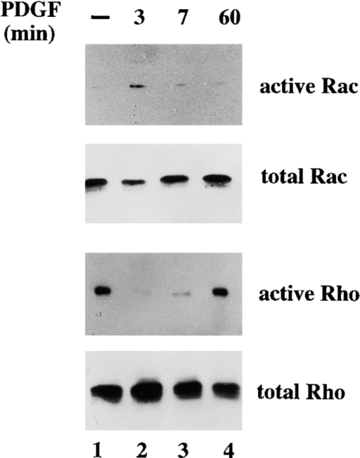 PDGF-mediated Rac activation simultaneously results in inactivation of Rho. 4 × 106 NIH3T3 cells were deprived of serum for 24 h, and then stimulated with 20 ng/ml PDGF for 0, 3, 7, or 60 min. Cell lysates were assayed for Rac and Rho activities and incubated either with GST-PAK-CD or GST-C21. Bound GTPases were analyzed by Western blot using specific Rac and Rho antibodies.