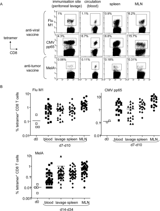 Vaccination with the peptide-loaded HLA-A*0201 matched allogeneic pDC line elicits strong antigen-specific T cell responses in humanized mice.(A-B) Immunodeficient NOD-SCIDβ2m-/- mice were reconstituted intraperitoneally with 50.106 human HLA-A*0201+ healthy donors' PBMC and vaccinated by the same route with 5.106 irradiated peptide-loaded GEN cells. Specific T cell induction was analyzed at the injection site (lavage), in the circulation (blood) and lymphoid organs (spleen, LN) by tetramer labelling of human T cells in cell suspensions. (A) Vaccination with peptide-loaded GEN cells induced specific T cell responses in vivo. Representative dot plots of tetramer labeled T cells induced after a single vaccination with peptide-loaded GEN cells in different organs at day 8 for anti-viral vaccine (Flu, CMV) and day 10 for anti-tumor vaccine (MelA) (gated on CD8+ T cells). One mice per group is shown. Initial levels of specific T cells within PBMC were 0.04%, 0.14% and 0.003% respectively. (B) Levels of specific T cells before (day 0) and after vaccination with GEN loaded with FluM1 (n = 22 mice, 4 donors, 1 vaccine), CMVpp65 (n = 18 mice, 2 donors, 1 vaccine) and MelA (n = 38 mice, 4 donors, 2–3 vaccines) peptides at the indicated times in different organs. Each dot represents one vaccinated HuPBL mice (bars at mean).