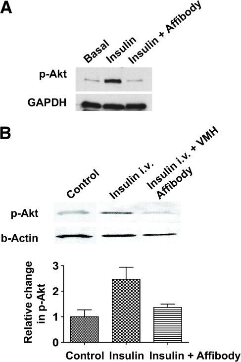 Insulin-induced phosphorylation of Akt is prevented by delivery of anti-insulin affibodies to differentiated adipocytes in vitro (A) and into the ventromedial hypothalamus in vivo during systemic insulin infusion. Relative change in Akt phosphorylation was normalized to β-actin (B). GAPDH, glyceraldehyde-3-phosphate dehydrogenase.
