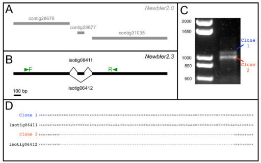 Newbler 2.3 correctly identifies splicing isoforms of nanos. (A) Newbler v2.0 identified three separate contigs that map to an O. fasciatus nanos homologue that we had previously identified by degenerate PCR (Ewen-Campen & Extavour, unpublished). Newbler v2.0 failed to identify these contigs as belonging to the same transcript because of branching conflicts amongst the reads joining these contigs. BLASTX against the RefSeq protein database identified only contig 31035 as being a putative nanos homologue; the other two contigs lie outside the conserved Nanos domain and obtain no BLAST hits. (B) Newbler v2.3 predicted that the same three contigs identified by Newbler v2.0 belonged to two isotigs, or splicing isoforms. (C) RT-PCR with specific primers F and R shown in (B) resulted in two bands of the predicted sizes of the isotigs predicted by Newbler v2.3. (D) Sequencing the bands from (C) revealed that they were identical to the sequences of the predicted isotigs from (B).